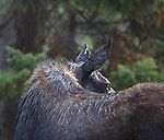 Cow moose in the rain in the Beaverhead Deerlodge National Forest