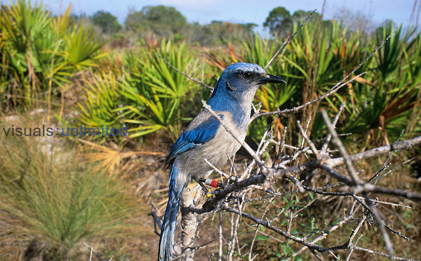 Florida Scrub Jay (Aphelocoma coerulescens), an endangered species, Florida Keys, USA. Note the multiple bands on its legs for research.