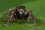 Jumping Spider, Salticidae sp., Iquitos, Peru, jungle, amazonian, showing large bulbous eyes, good vision.South America....