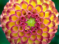 Close up of Dahlia variety Kasasagi. Oregon