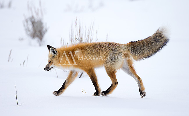 You don't see foxes raise their tails like this too often.  It's sometimes a sign of aggression, but for females (as I believe this one is), it could also be an invitation for males to mate or part of a scent-marking ritual.