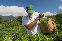 France, île de la Réunion, Saint-Joseph, Grand Coude: Plantation de thé: le labyrinthe en-champ-thé, cueillette du thé blanc  Johny Guichard producteur //  France, Reunion island (French overseas department), Saint Joseph, Grand Coude, picking white tea , Johny Guichard producer<br /> <br /> Auto N°: 2014-113
