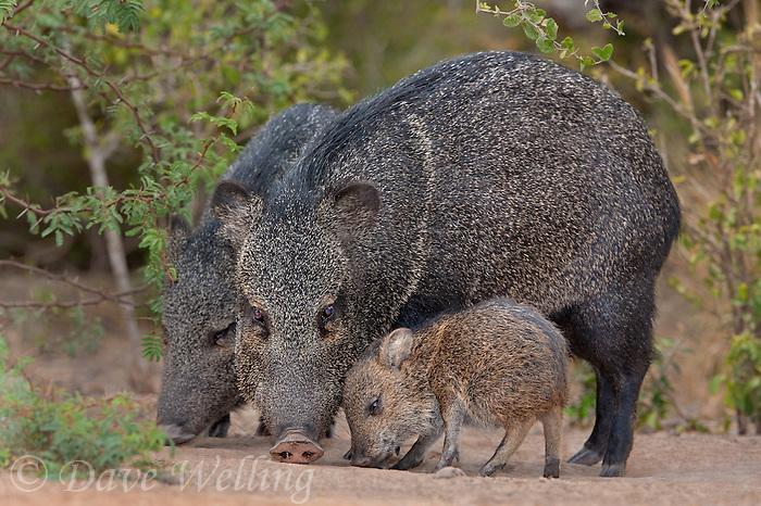 650520293 a wild baby javelina dicolytes tajacu interacts with its mother on beto gutierrez ranch hidalgo county texas united states