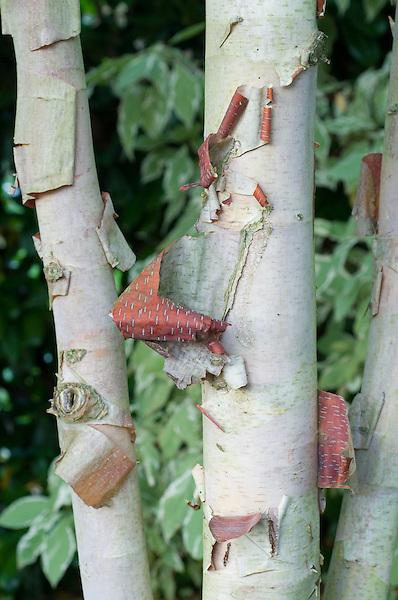Betula albo-sinensis K Ashburn