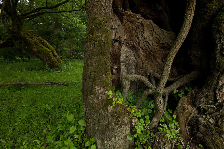 Age-old white willows trees (Salix alba). Sava river oxbows (Sava River is the border between Croatia and Bosnia-Herzegovina). Puska village area.   Lonjsko Polje Nature Park. Ramsar Site. June 2009. Croatia. <br /> Elio della Ferrera / Wild Wonders of Europe