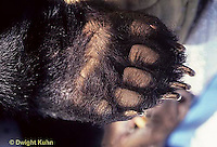 MA01-030a  Black Bear - female paw - Ursus americanus