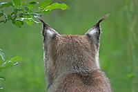 Luchs, Nordluchs, Nord-Luchs, Eurasischer Luchs, Pinselohr, Pinselohren, Lynx lynx, Felis lynx, Lynx, Lynx d´Europe