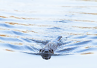Otter swimming. Dorset, UK.