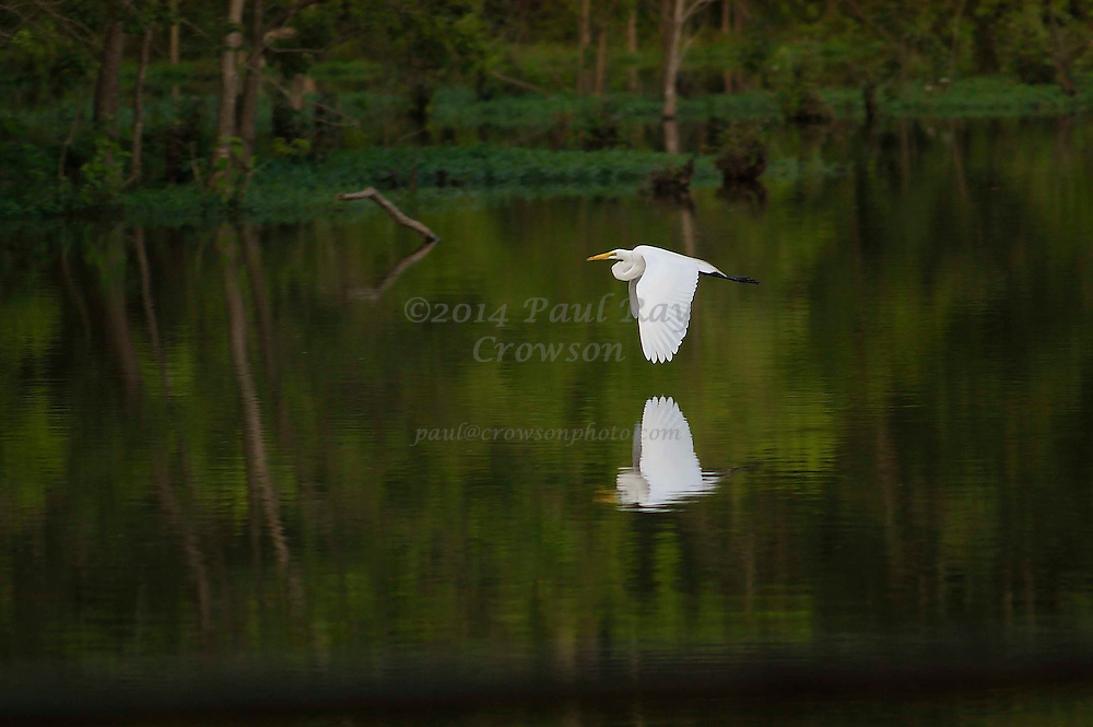 Flying Egret Reflected in Lake