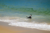 Dog swimming in the ocean, Bulls Neck Bay, NY