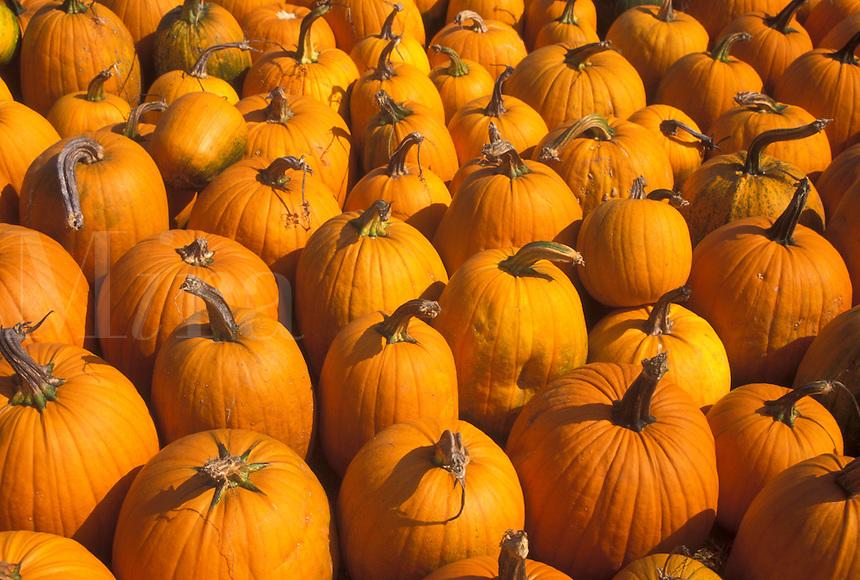 AJ4582, autumn, pumpkins, A close-up of large amount of pumpkins for sale.