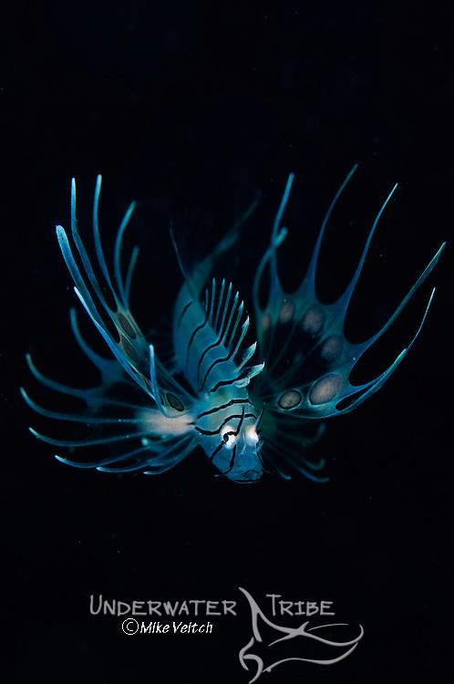 Juvenile lionfish, Pterois sp., Beangabang Bay, Pantar Island, Nusa Tenggara, Indonesia, Pacific Ocean
