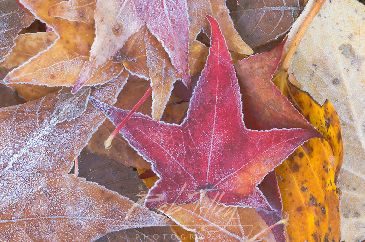 Frost on Autumn Leaves, WA, USA