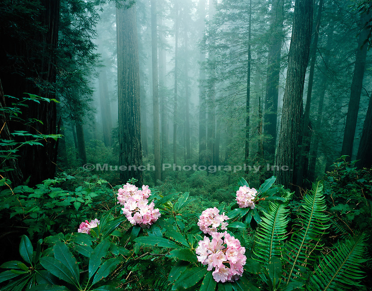"""Rhododendron blooms, Del Norte Redwoods Redwood NP  CALIFORNIA"""