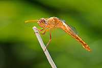 389310018 a wild flame skimmer dragonfly libellula saturata perches on a dead twig near bishop in inyo county california