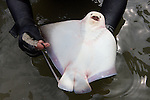 Underside Of Bat Ray