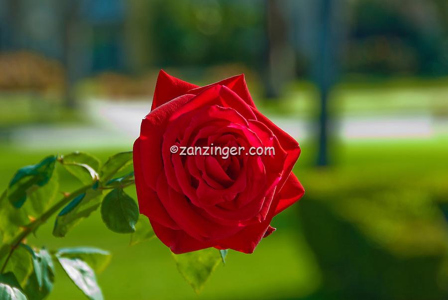 """""""Let Freedom Ring""""  Rosa, Hybrid Tea, Single Rose on Vine, Rosaceae, bud, colorful, Blooming, perennial, flowering shrub, vine, genus, flower, fragrant, garden, romantic, rose, lovely, nature, organic, petal, plant, pretty,"""