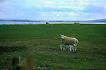 Sheep and lambs in Sutherland, Scotland, Uk