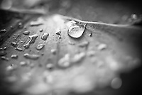 Macro shot of water droplets on a leaf (Black and White)