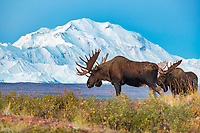 Bull moose in front of Mt. Denali, Denali National Park, Alaska.