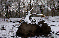 Snow Covered Fallen Tree, Hampstead Heath, London