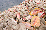 Grand Bahama Island, The Bahamas; empty Conch shells are used to fortify the banks along Hawksbill Creek, named for the Hawksbill Turtle that was once a frequent visitor but is now endangered
