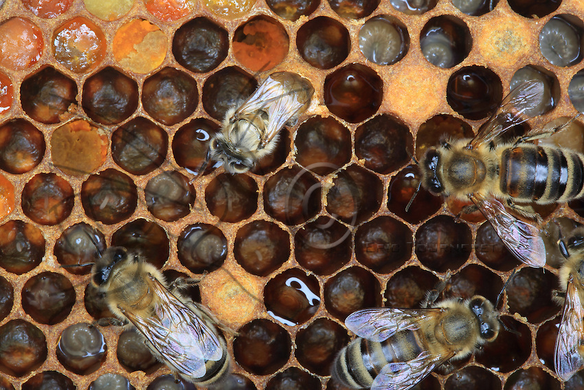 A young bee, its body not yet pigmented, on the cells full of pollen.///Une jeune abeille au corps pas encore pigmenté sur des cellules remplies de pollen.