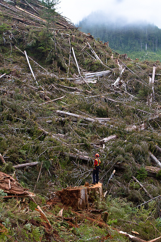 At the back end of the setting, and across a deep gully separating the back end from the road where the Paul Salvail is landing turns with the grapple yarder, hooktender Ryan Parsons watches the action from a large cedar stump. Hardy Inlet, Rivers Inlet, August 2012.