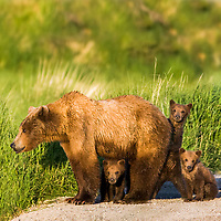 DIGITALLY MODIFIED IMAGE: Sow and triplet cubs of the year, Katmai National Park, southwest, Alaska.