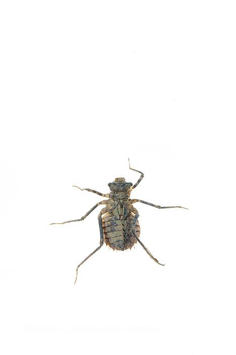 30040-00114 Hines Emerald Dragonfly Larva (Somatochlora hineana) on white background, Marion Co., IL