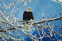Bald Eagle (Haliaeetus leucocephalus) perched in a tree after fresh snow.