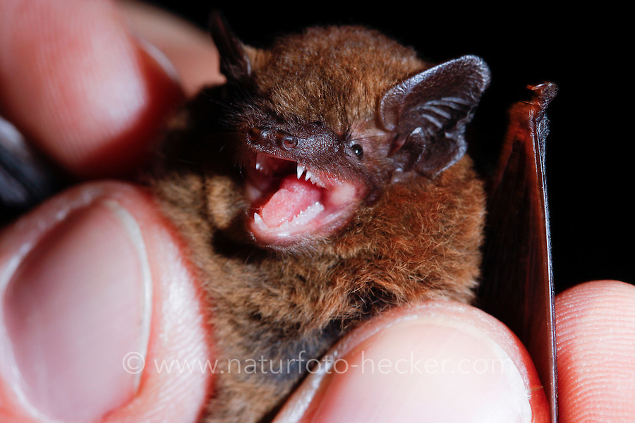 Zwergfledermaus in Hand wird untersucht, Forschung, Zwerg-Fledermaus, Pipistrellus pipistrellus, Common pipistrelle, Pipistrelle commune
