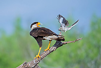 Northern Mockingbird, Mimus polyglottos, fiercely fending off Northern Crested Caracara, Caracara cheriway, from its nearby nest, Texas, USA