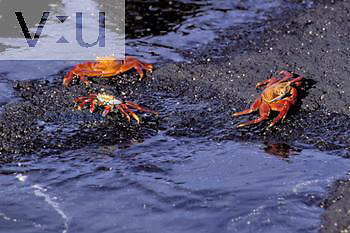 Sally Lightfoot Crab ,Grapsus grapsus, Punta Espinosa, Galapagos