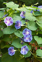 Blue star Morning Glories (Ipomoea)
