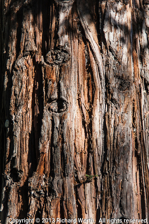 Deeply lined bark of a Redwood tree.  Turn it sideways, clockwise, and suddenly two eyes and a mouth appear.