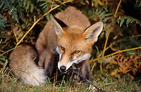 Fox Vulpes vulpes Length 95-130cm Adaptable dog-like carnivore but with a catholic diet including fruits and berries. Mainly nocturnal; daytime shelter is called an earth. Adult has thick, mainly orange-brown coat with whitish jaws and underparts are white and white tip to tail. Feet and backs of ears are blackish. Yelping scream is uttered mainly by females for brief period in winter, to mark breeding season. Common, widespread and adaptable, found in towns and cities as well as countryside.
