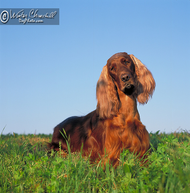Irish Setter against a bright blue sky Shopping cart has 3 Tabs:<br /> <br /> 1) Rights-Managed downloads for Commercial Use<br /> <br /> 2) Print sizes from wallet to 20x30<br /> <br /> 3) Merchandise items like T-shirts and refrigerator magnets