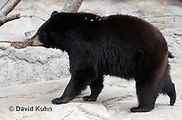 0906-0809  American black bear, Ursus americanus  © David Kuhn/Dwight Kuhn Photography.