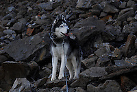 photos of siberian huskies, husky photos, pictures of siberian huskies, best photos of huskies, best photos of siberian huskies