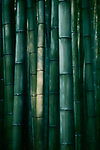 Beautiful Bamboo forest in dramatic morning light, abstract dark green culms of bamboos in Arashiyama, Kyoto, Japan.