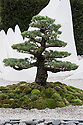 Bonsai Japanese White Pine (Pinus parviflora 'Pentaphylla Yatsubusa'). The Sound of Silence Garden, designed by Fernando Gonzalez, Silver Gilt medal winner, RHS Chelsea Flower Show 2013.