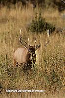 01980-00316 Elk or Wapiti (Cervus elaphus) bull    WY