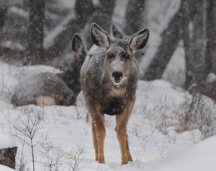Mule deer in a snow storm