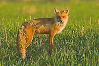 Red Fox vixen standing near the top of a hill