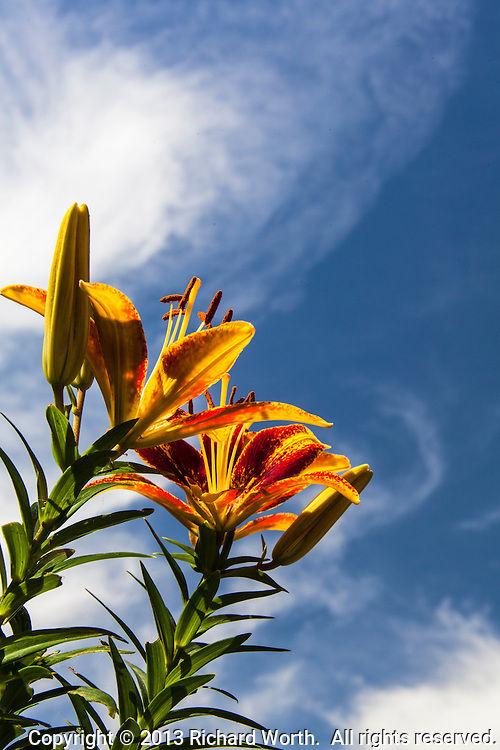 Asiatic lilies, both full blossoms and buds yet to ope, against a blue sky with wisps of cloud.