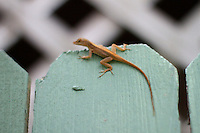 brown lizard on the fence