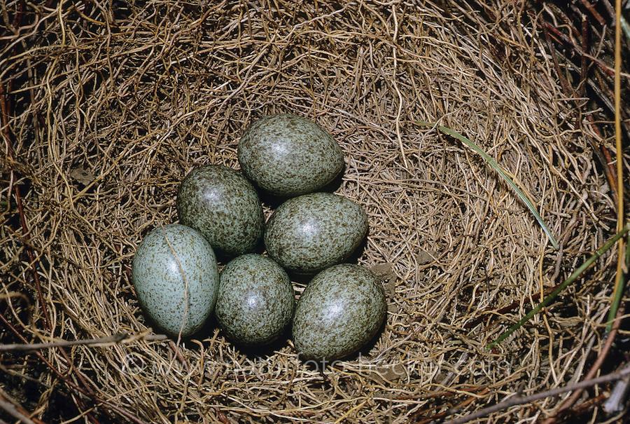 Elster, Ei, Eier, Gelege im Nest, Pica pica, black-billed magpie