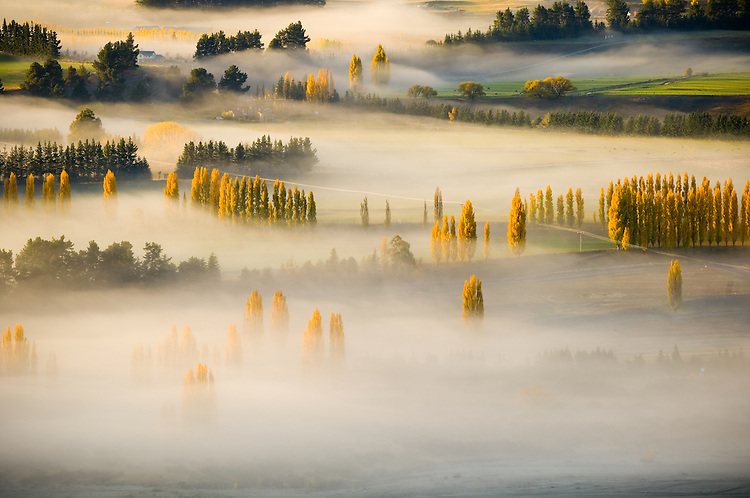Golden poplar trees in Autumn peak above morning mist over farmland near Wanaka - seen from the top of Mount Iron, South Island, New Zealand - stock photo, canvas, fine art print