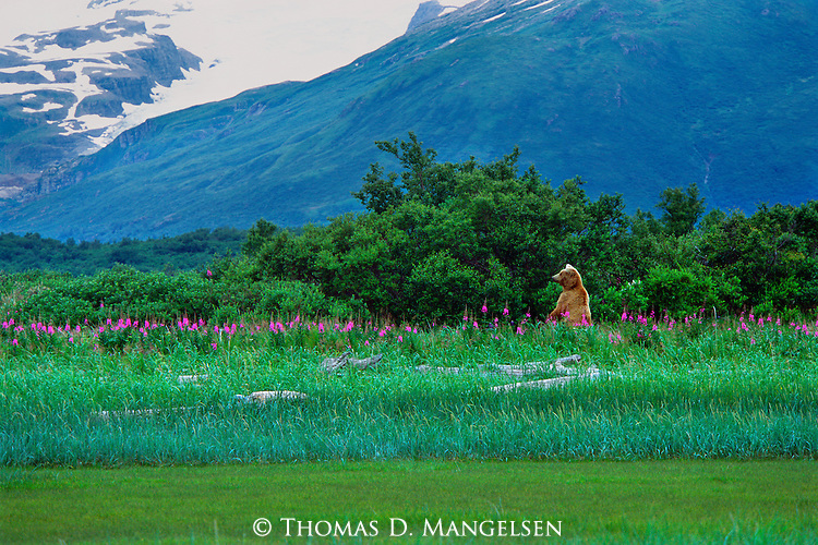 Rising up like a surreal vision among a field of blooming fireweed, a female brown bear makes her presence known to other bears that happen to wander too near her family.